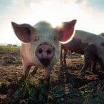 SA Pork